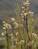 Dracophyllum longifolium?