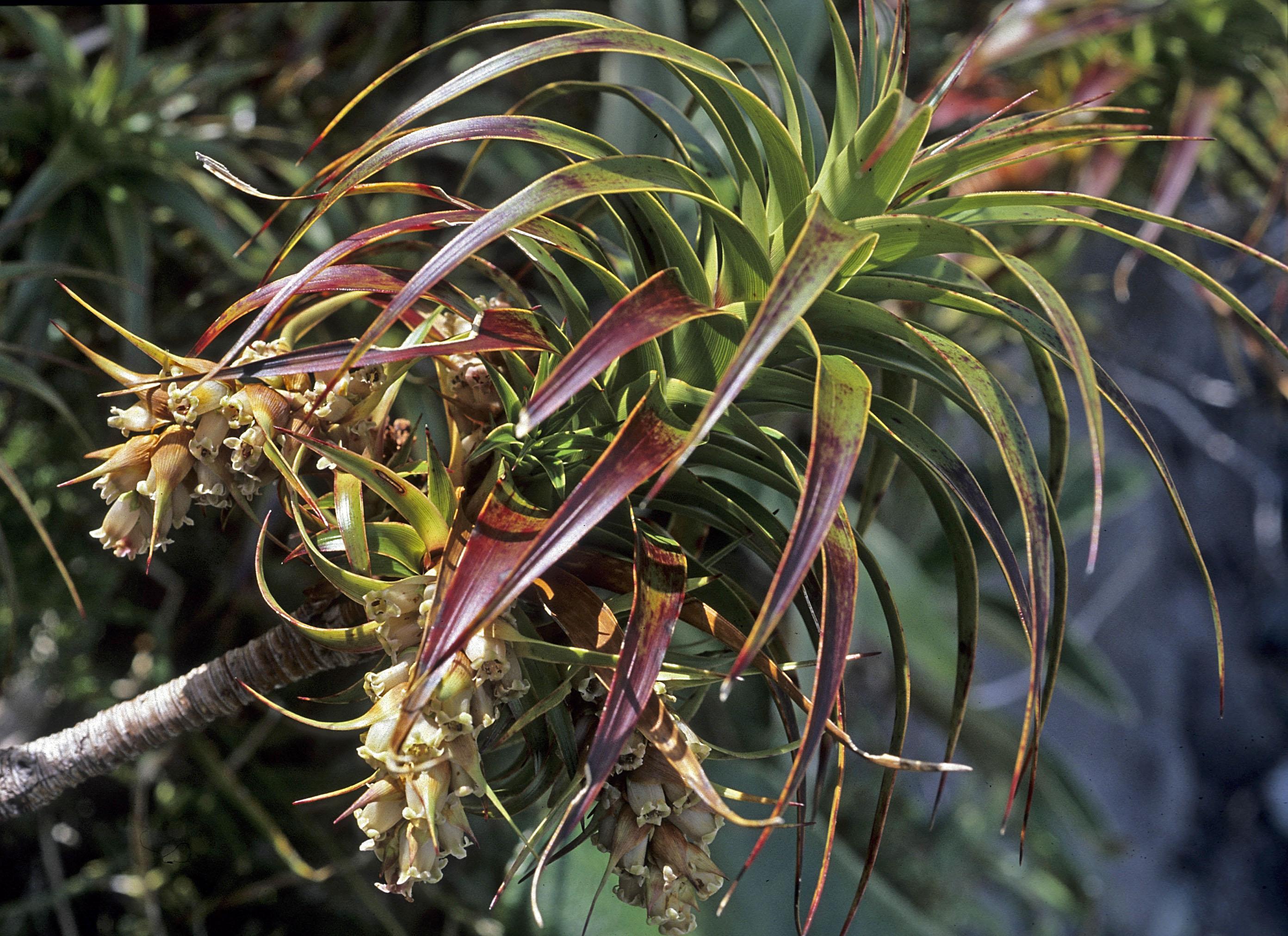 Dracophyllum menziesii