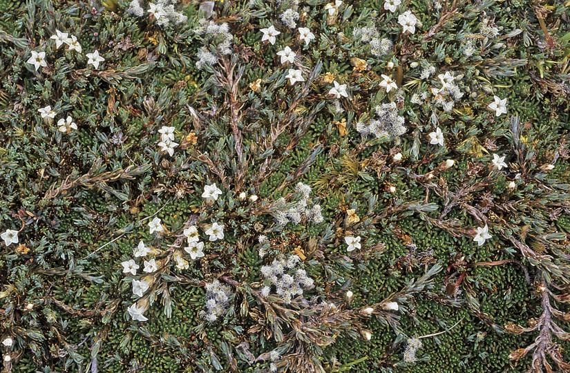 Dracophyllum prostratum