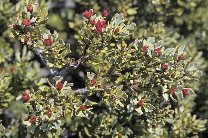 Phyllocladus aspleniifolius var. alpinus