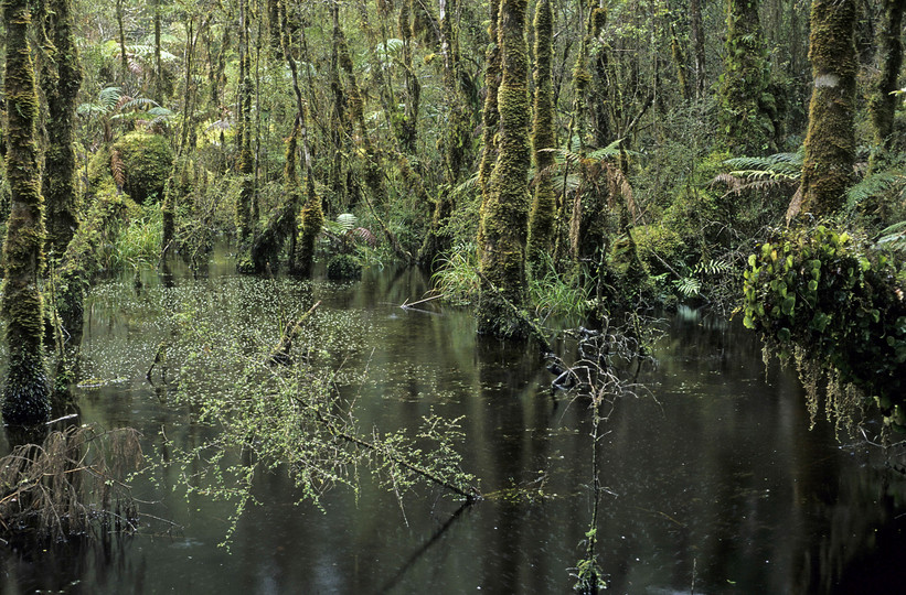 Podocarp Forest