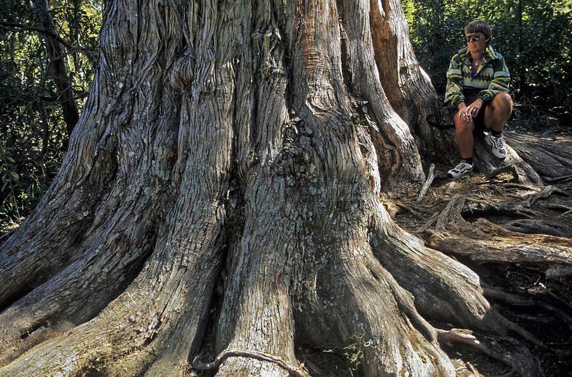 Podocarpus totara