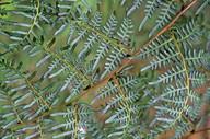 Pteridium esculentum