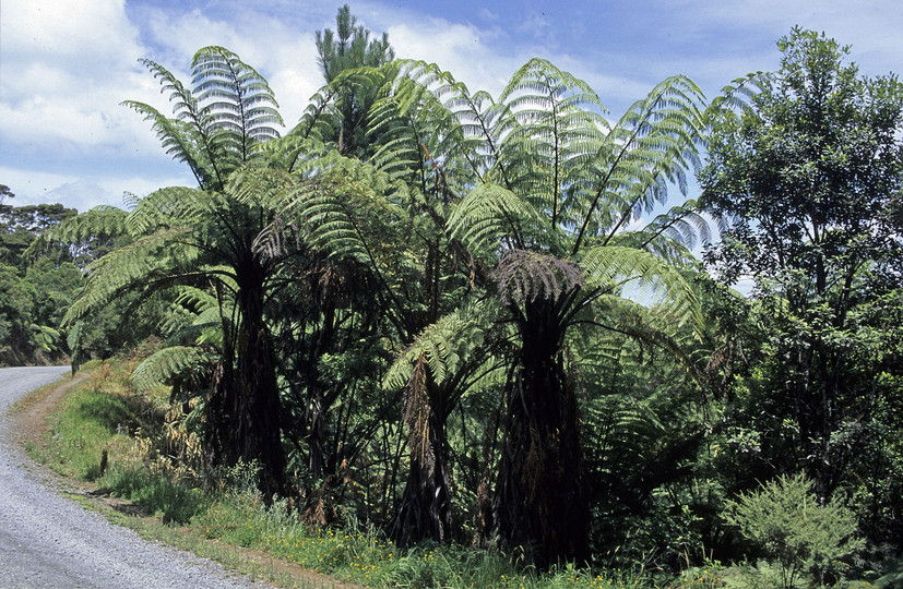 Cyathea medullaris