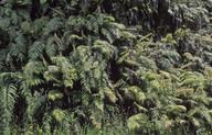 Blechnum novae-zealandiae