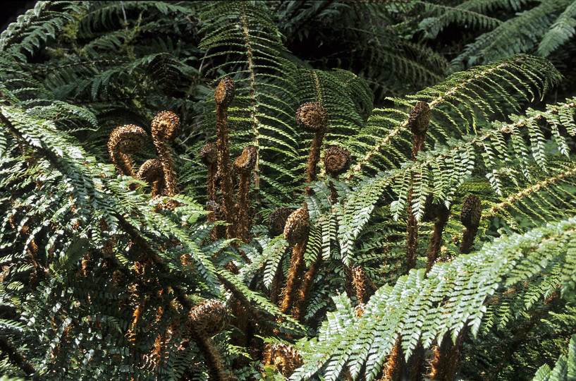 Polystichum vestitum