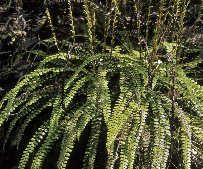 Blechnum fluviatile