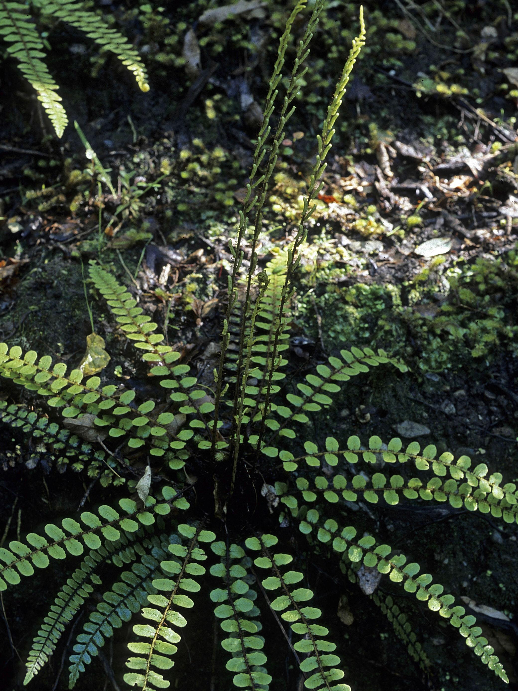 Blechnum fluviatile