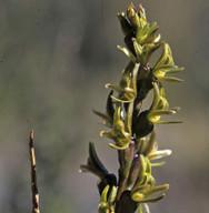 Prasophyllum colensoi