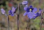Thelymitra venosa