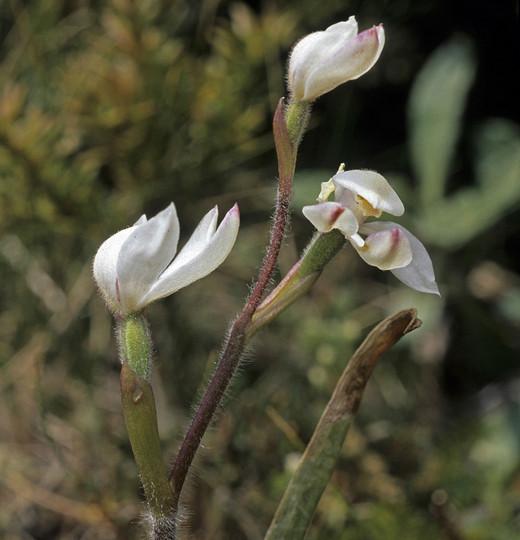Caladenia lyallii