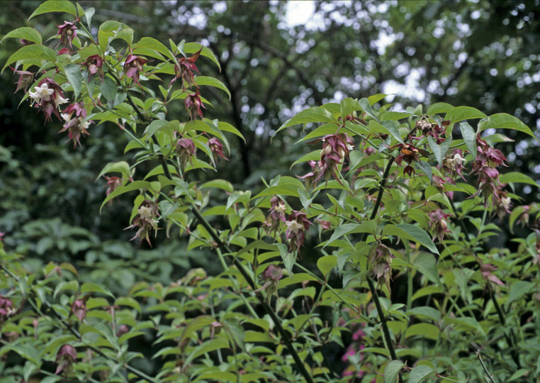 Leicesteria formosa