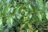 Coriaria arborea