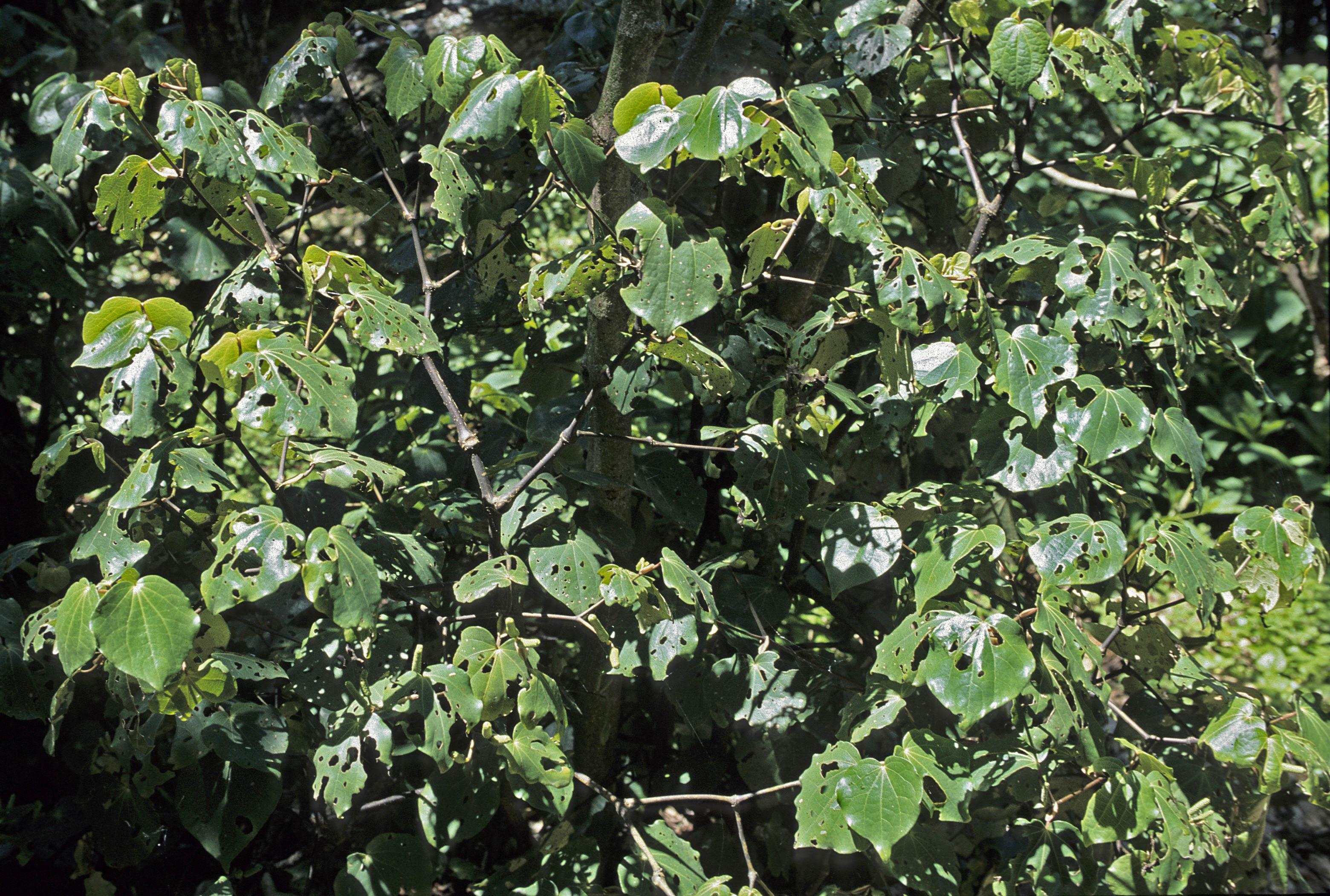 Macropiper excelsum