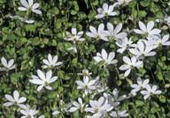 Pratia angulata