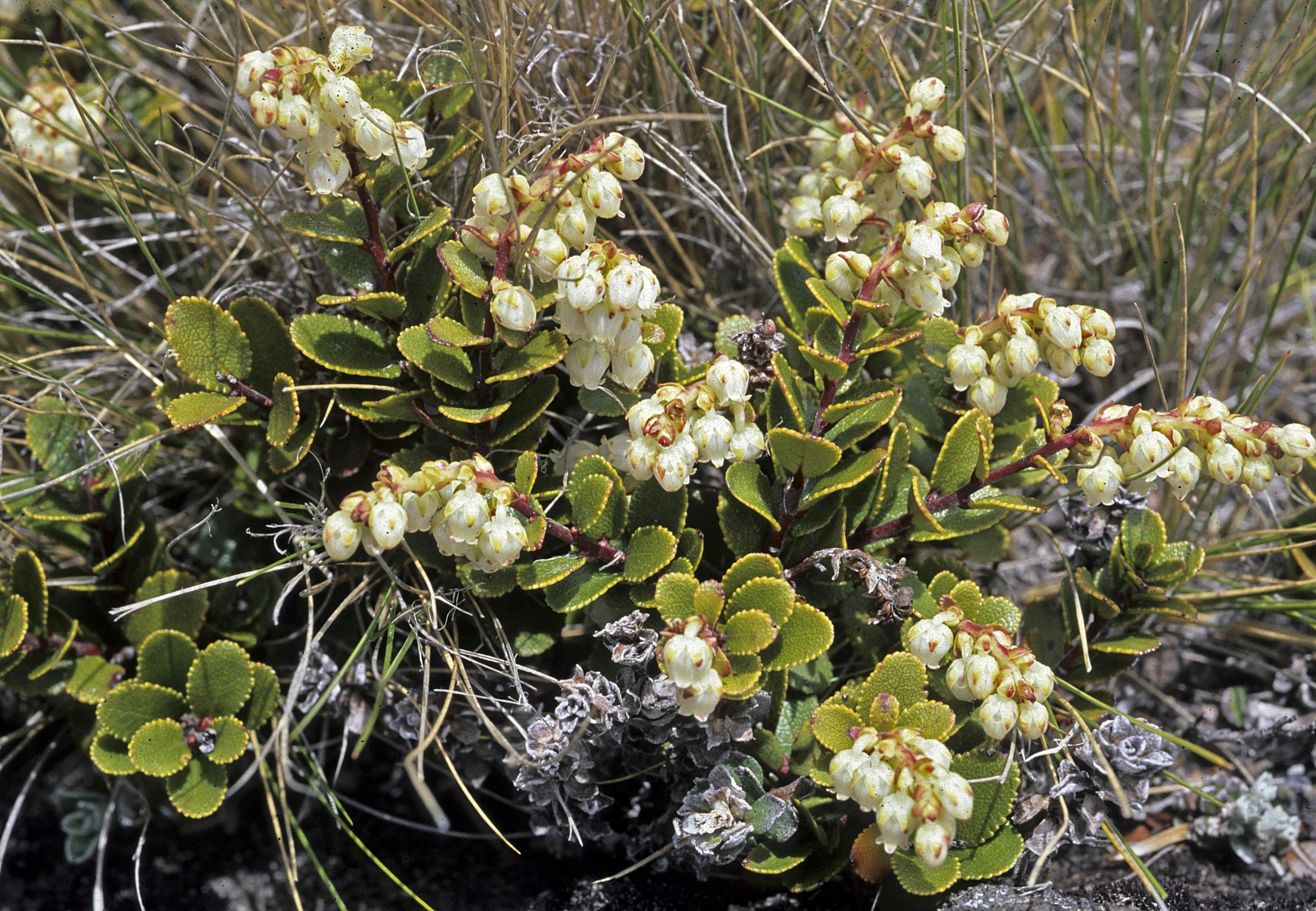 Gaultheria colensoi