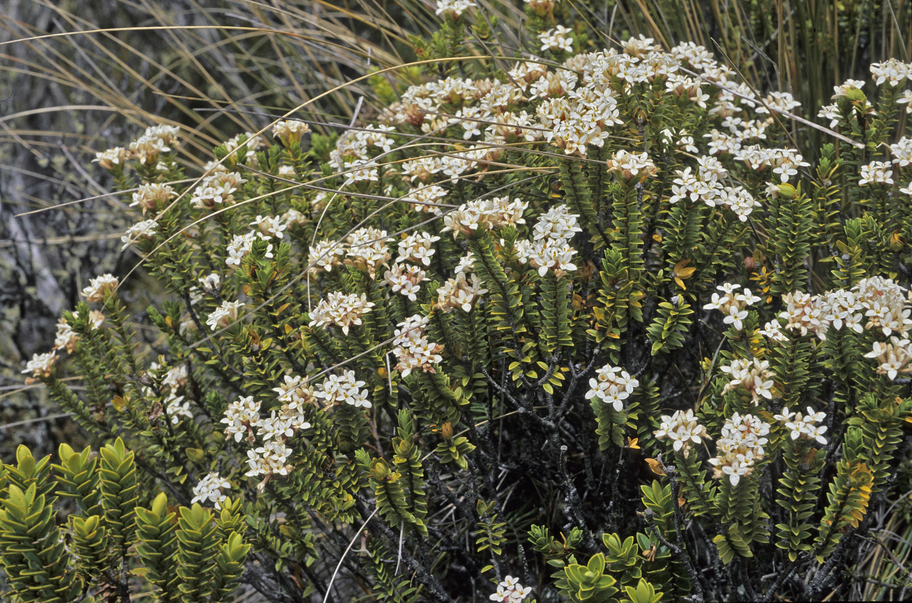 Pimelea buxifolia