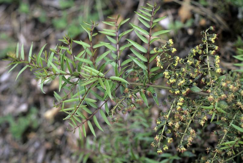 Coriaria pteridioides