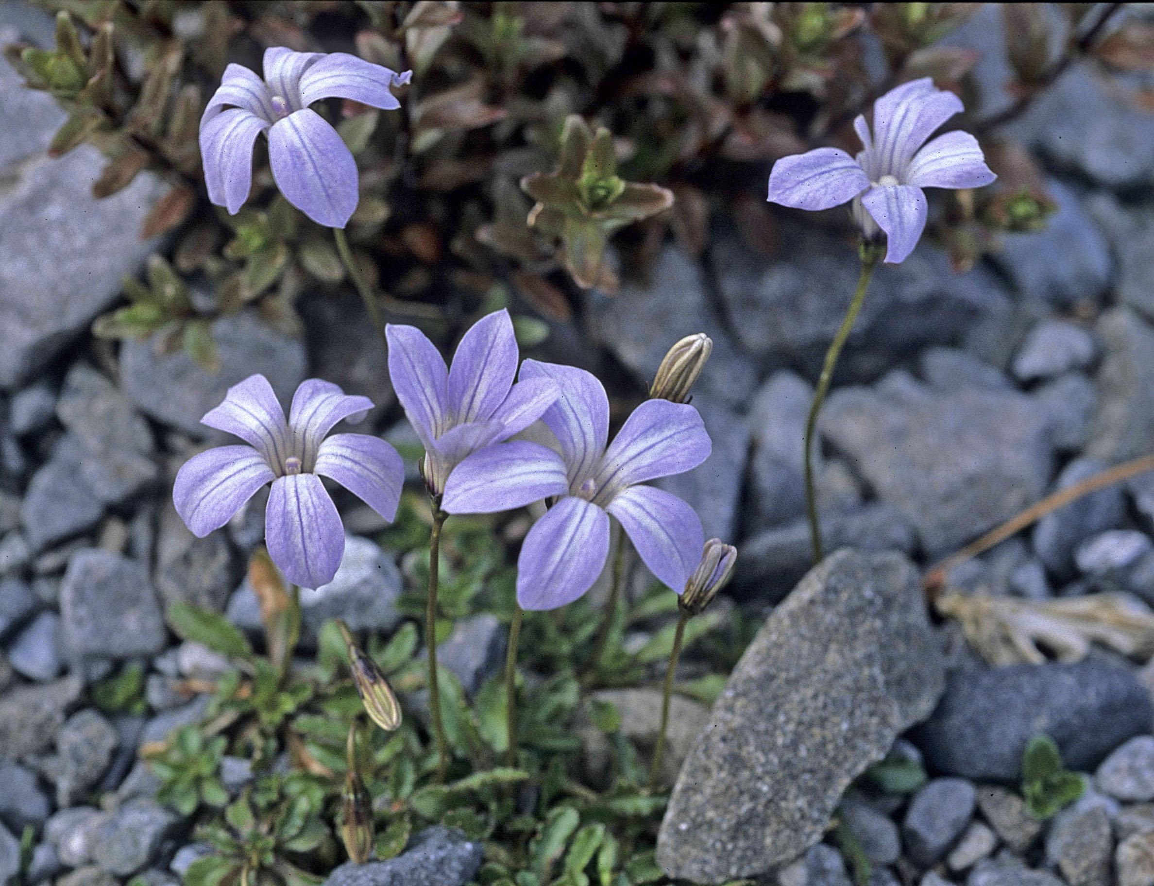 Wahlenbergia pygmaea