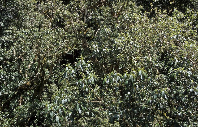 Fuchsia excoriata