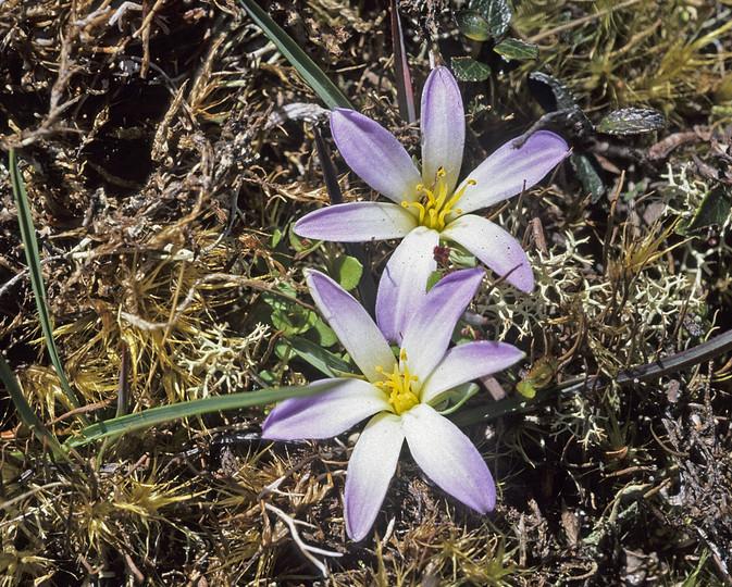 Herpolirion novae-zelandiae