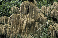Cortaderia splendens