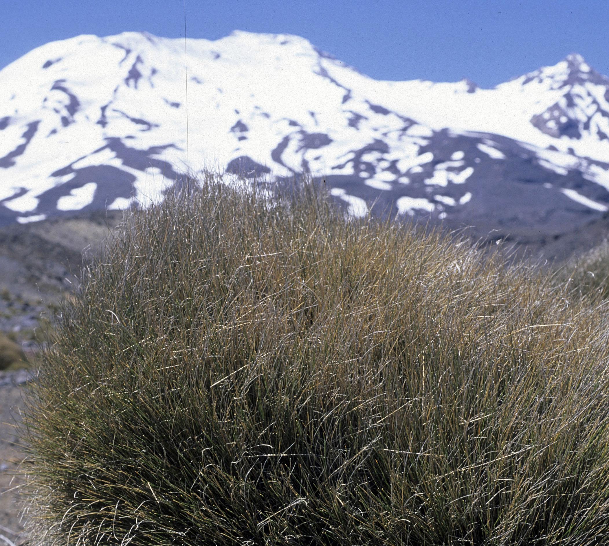 Rytidosperma setifolia?