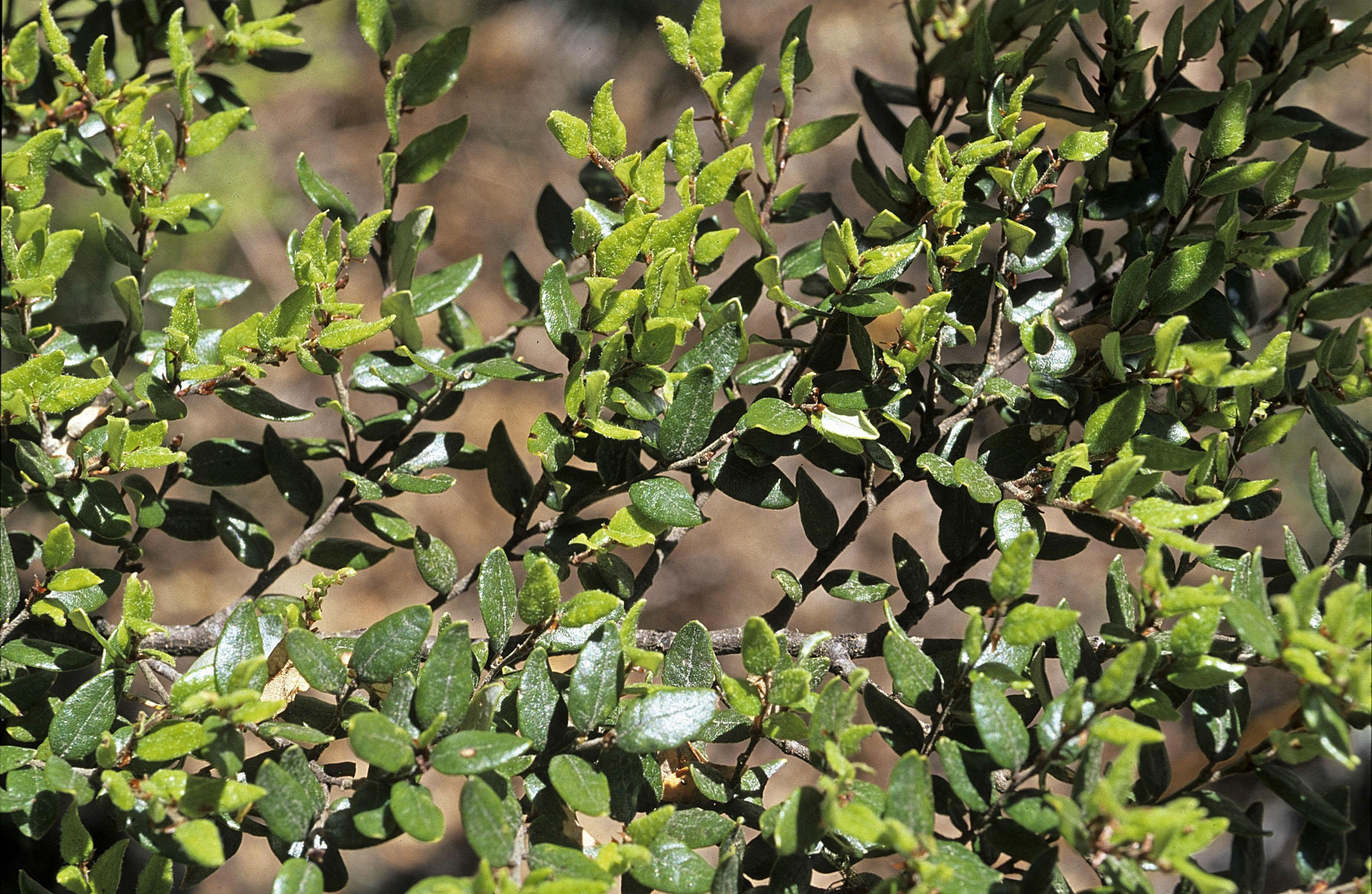 Nothofagus solandri var. cliffortoides