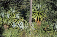Cordyline indivisa