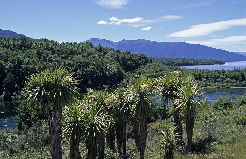 Cordyline australis