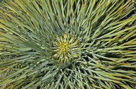 Aciphylla ferox?