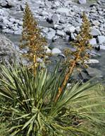Aciphylla scott-thomsonii