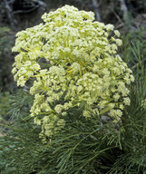 Aciphylla lyallii?