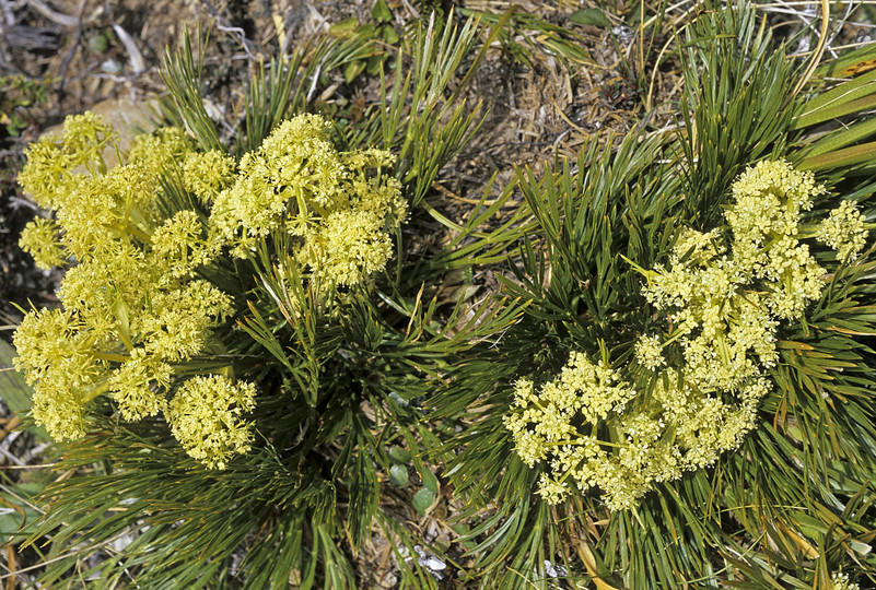 Aciphylla montana?