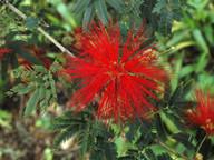 Calliandra twedii