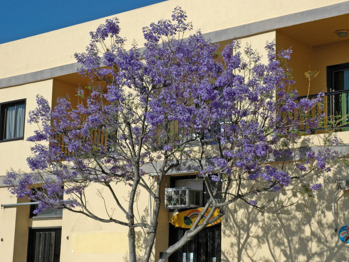 Jacaranda mimosifolia
