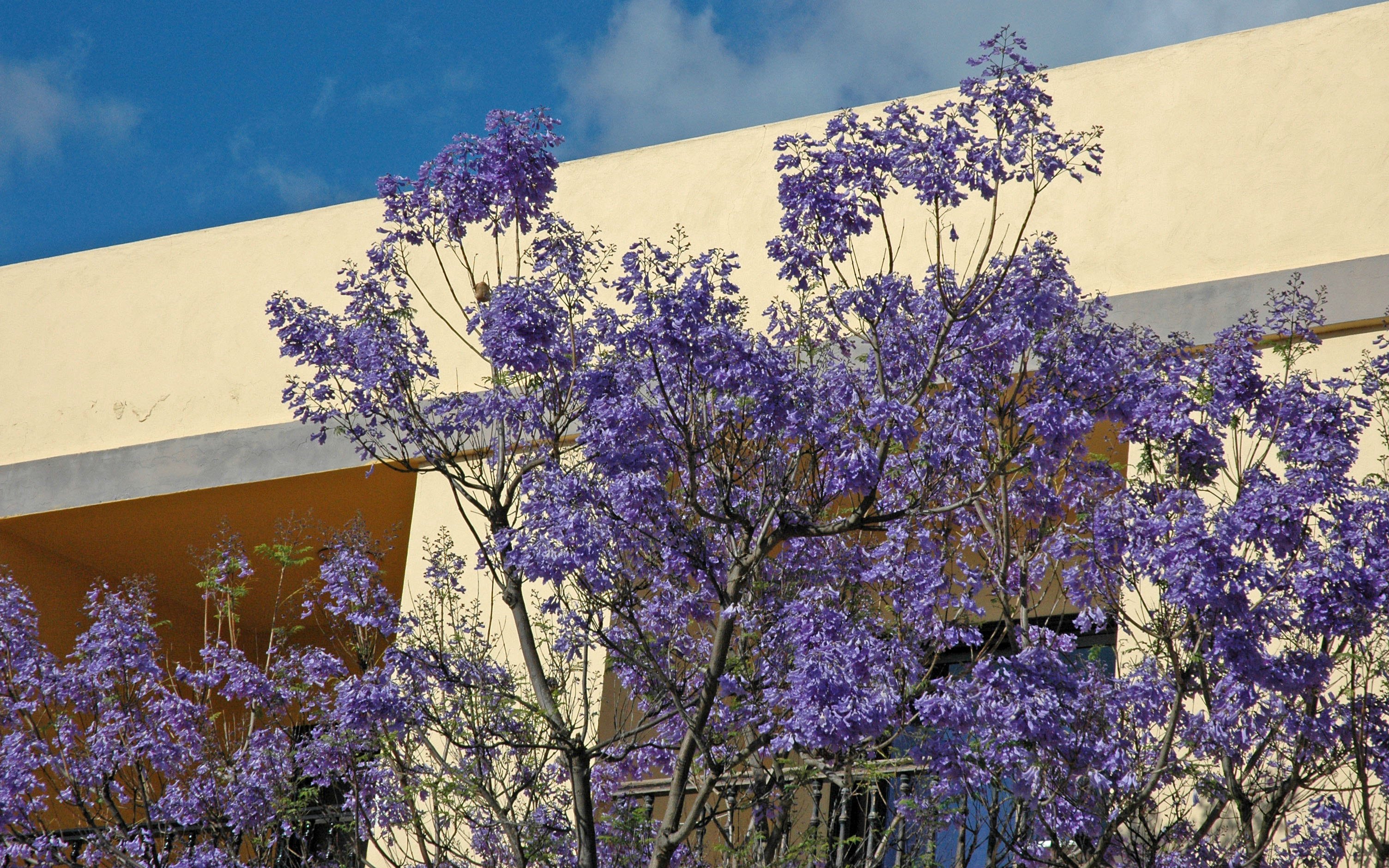 Flower gallery bignoniaceae nikb3485 for Planta ornamental jacaranda