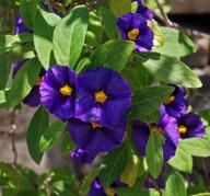 Solanum rantoneti