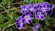 Duranta erecta