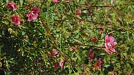 Anisodontia capensis