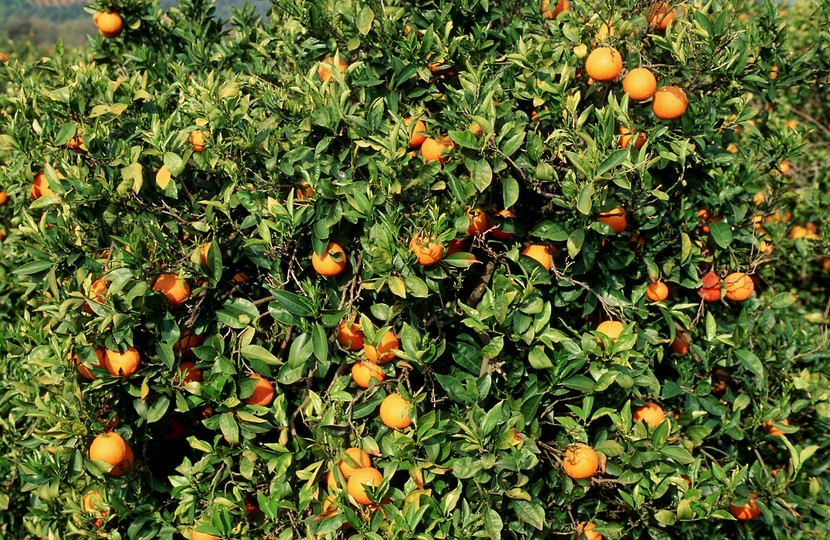 Citrus sinensis