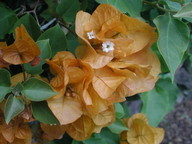Bougainvillea sp.