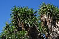 Yucca guatemalensis