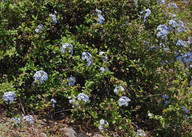 Plumbago articulata