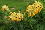 Corydalis sibirica