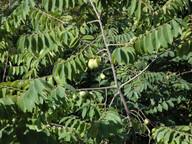 Annona cherimoja