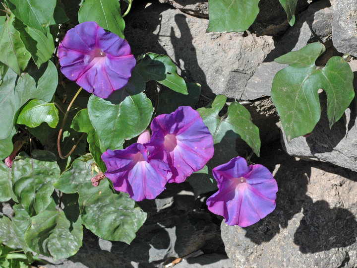 Ipomoea indica