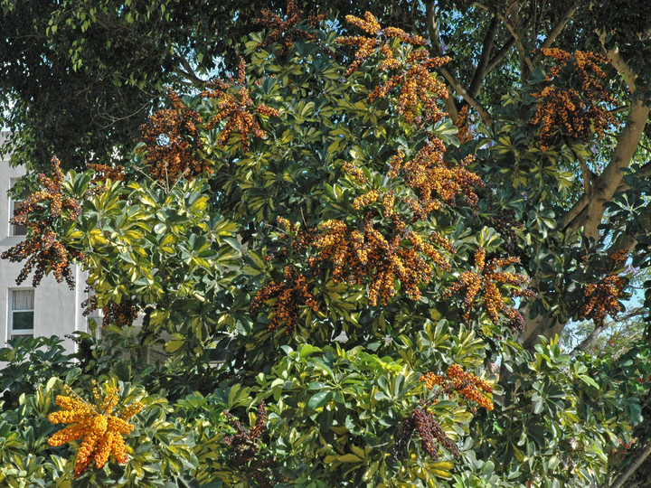 Schefflera arboricola