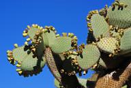 Echinopsis atacamensis