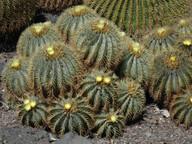 Ferocactus glausescens